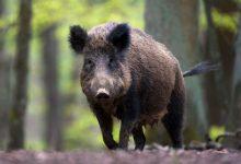 Photo of Šteta nastala od divljih svinja